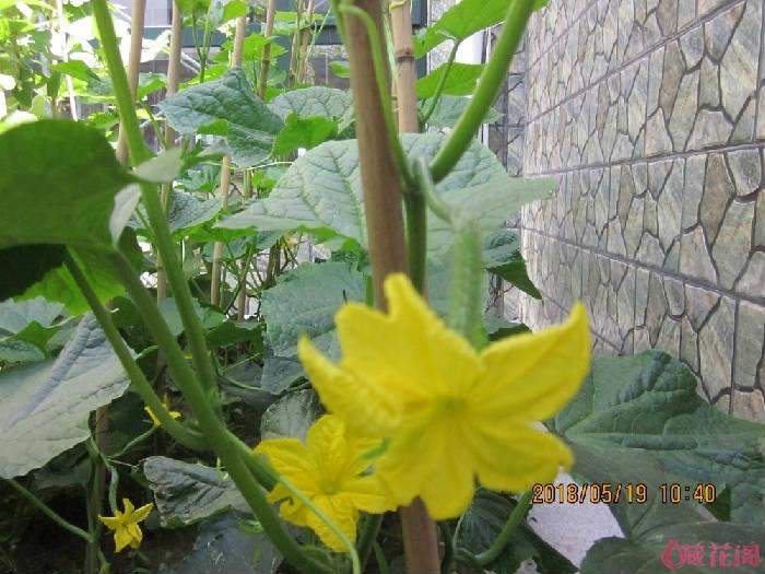 黄瓜开花了