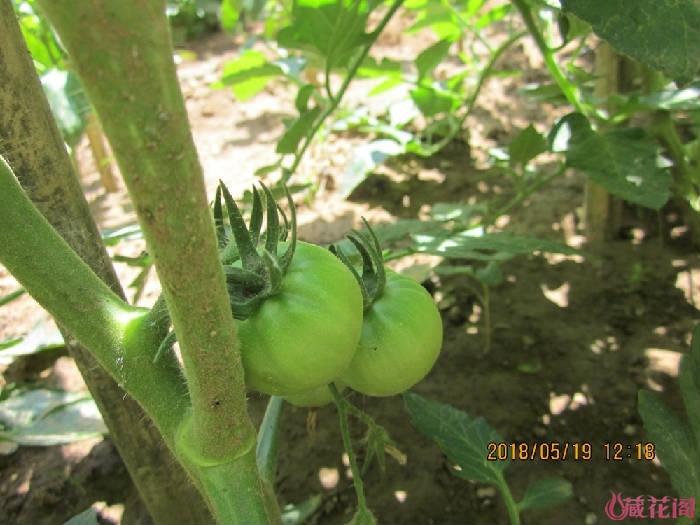 西红柿结果了
