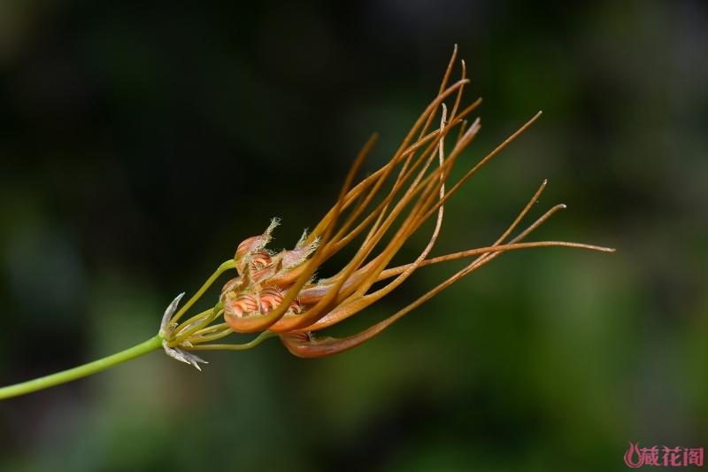3-DSC_6012Bulbophyllum setaceum.jpg