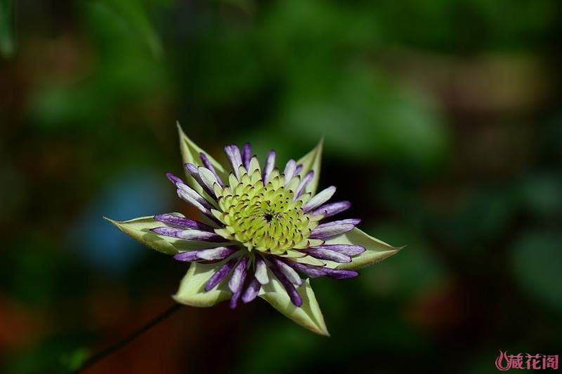 5-DSC_6236新幻紫.jpg