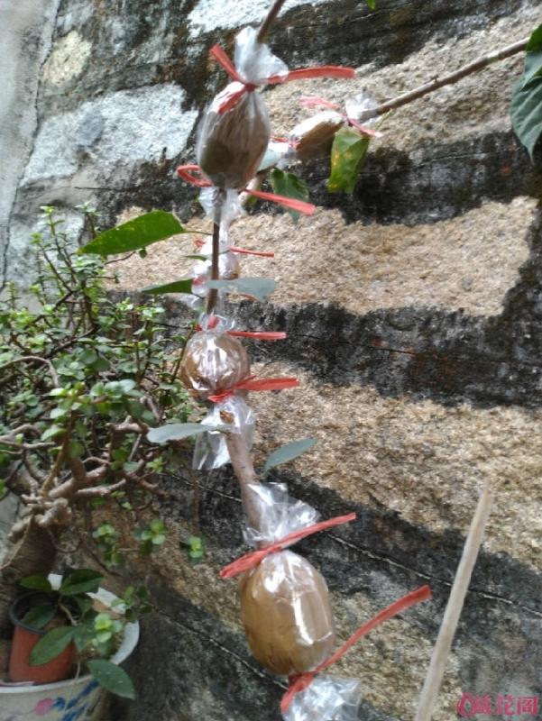 红柿子的黄泥高压三角梅 - fdycq - 费家村----老费的三角梅花园