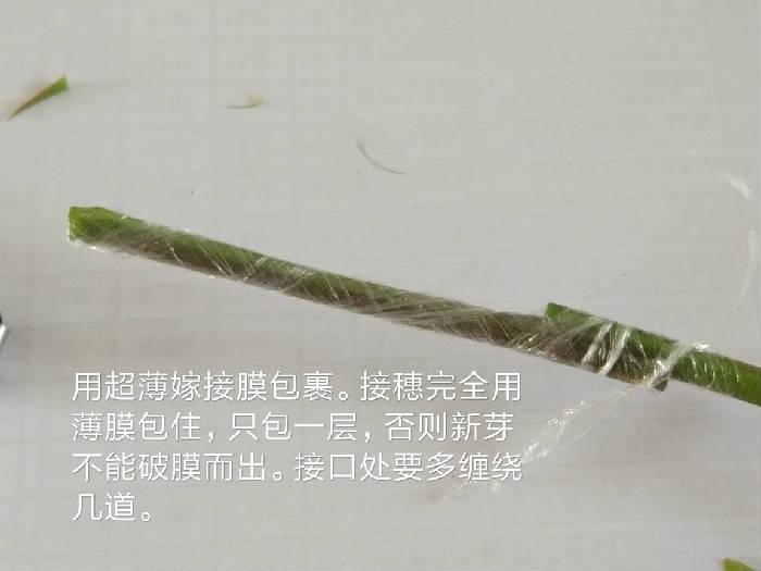 三角梅的交合嫁接法 - fdycq - 费家村----老费的三角梅花园