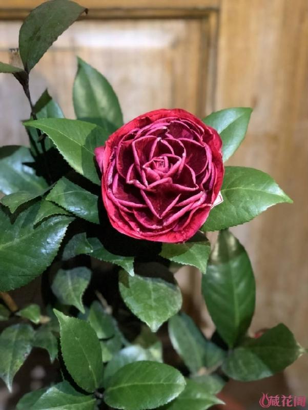 茶花-红叶贝拉黑贝拉