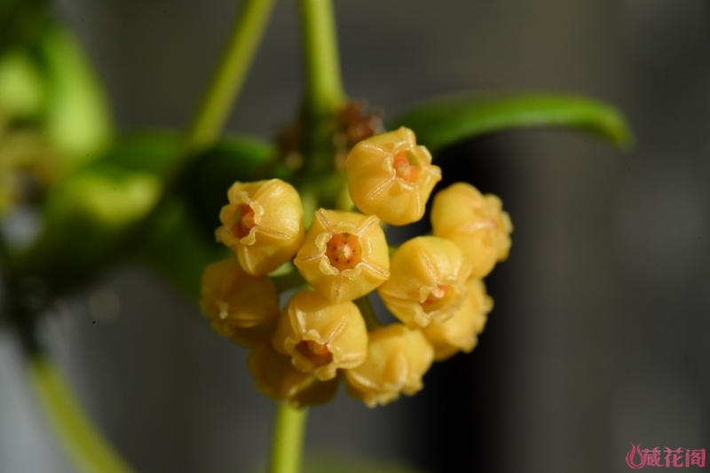 19-DSC_9429Hoya heuschkeliana Yellow-黃燒賣.jpg