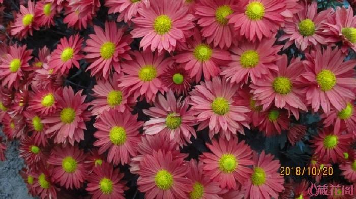 红色千头菊
