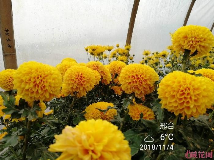 橙色千头菊