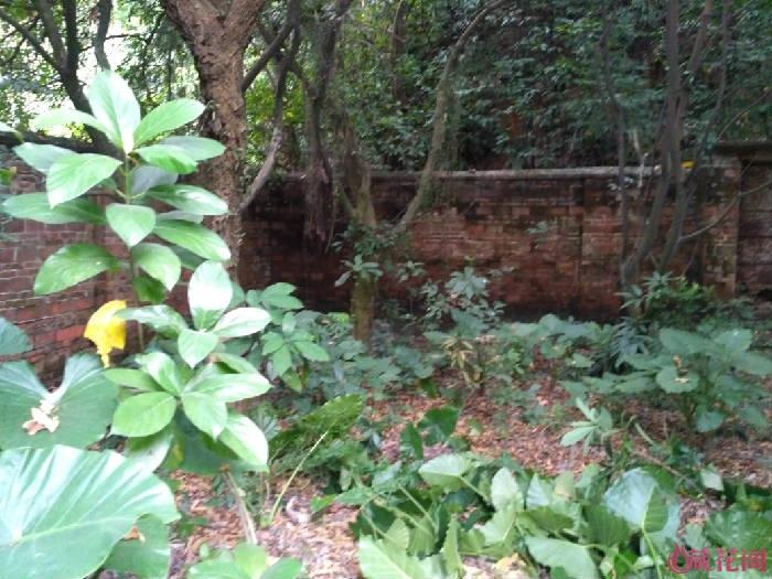在龙眼树下荫生的地方,植物缺少阳光,长得稀疏一点