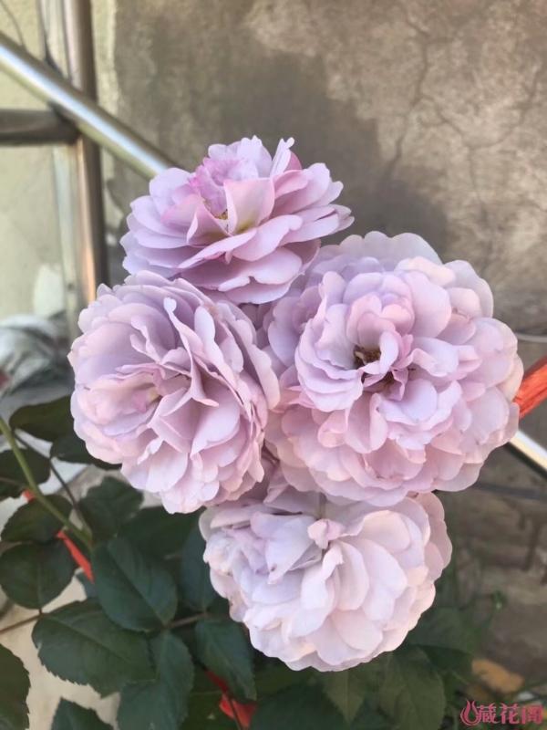 薰衣草花环初花