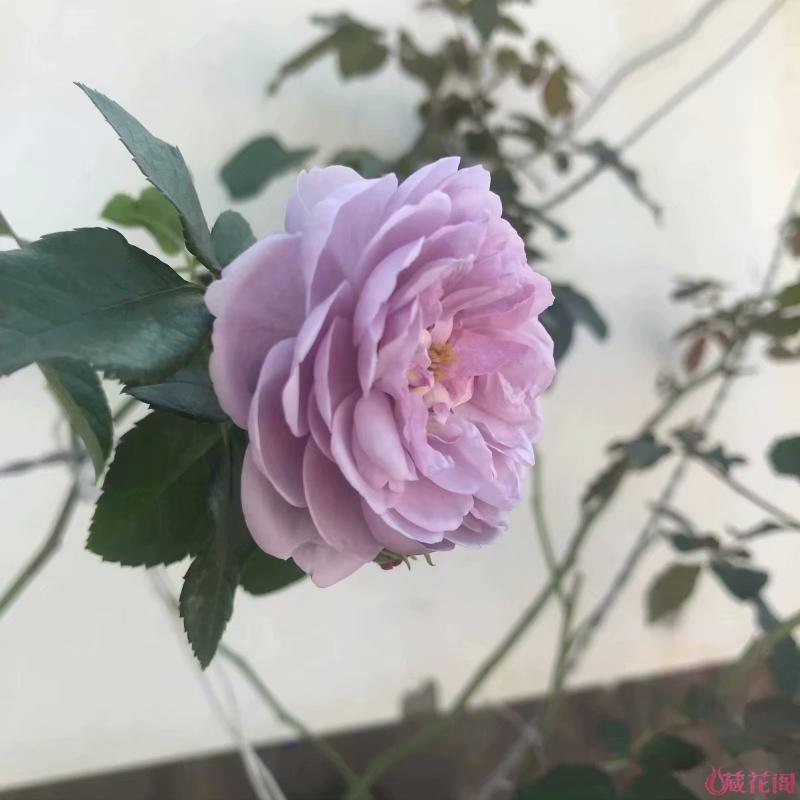 薰衣草花环秋花