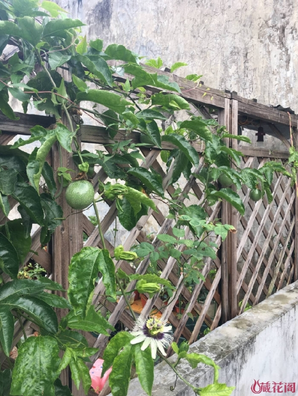 盆栽的百香果开始结果