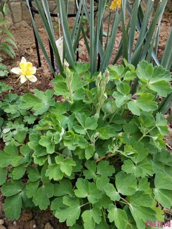 越冬后重发的耧斗菜