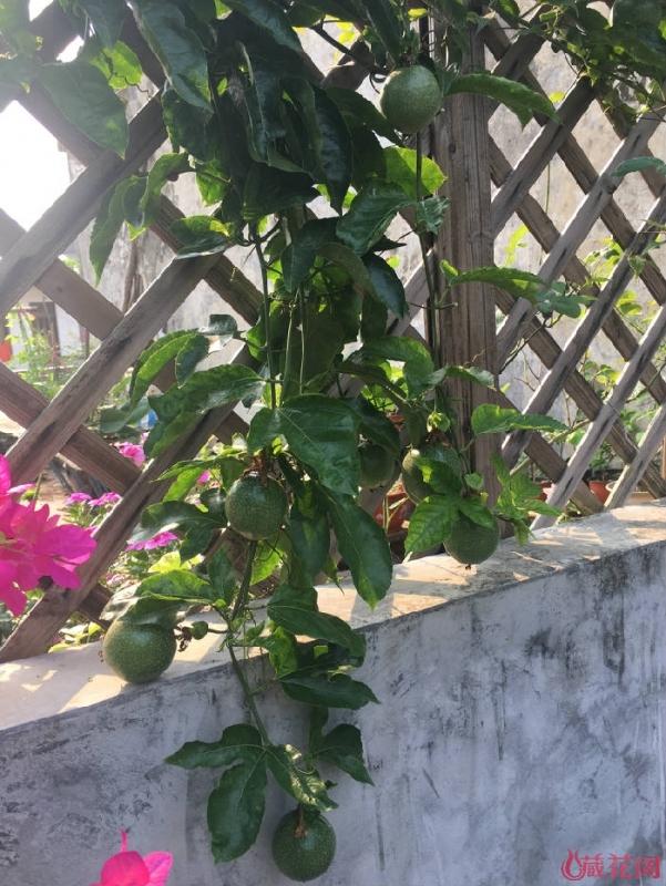 盆栽的百香果