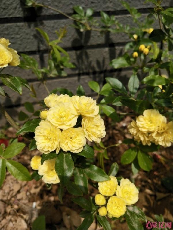 今春新栽的黄木香
