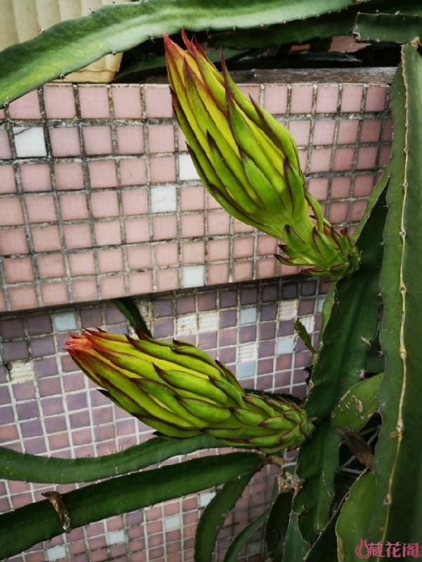 含苞待放的火龙果花