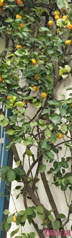 橘树1.JPG