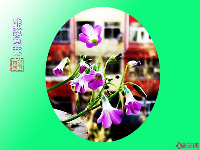 酢浆草花--1.png