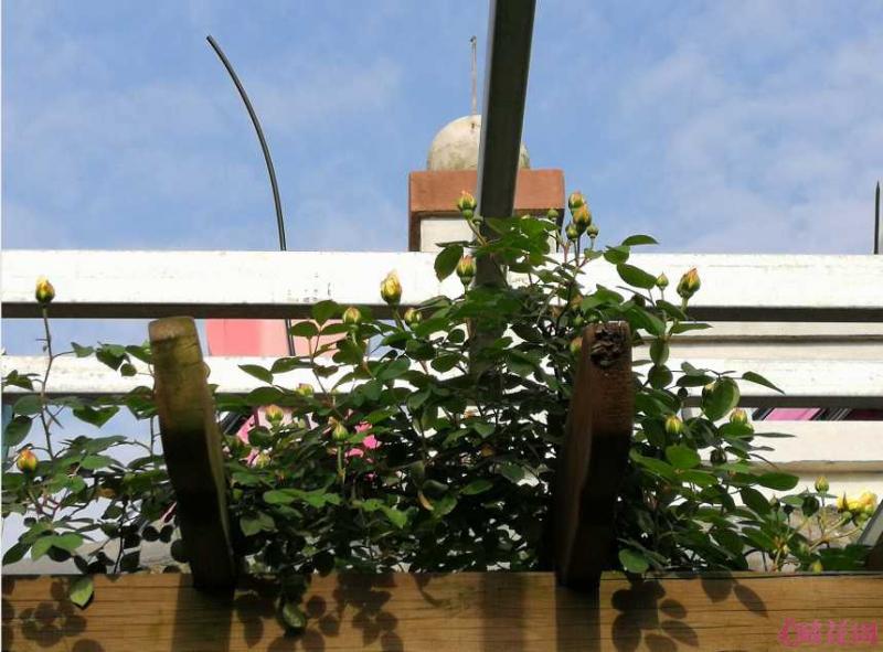 四年,花墙终于窜上架子 要是花坛小了,肥力不够。,