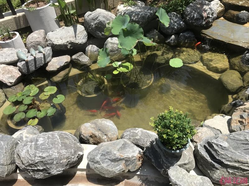 先放点小鱼试试水,不过放鱼之前水池放了2个月
