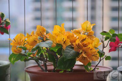 绿叶金黄 09年2月.jpg