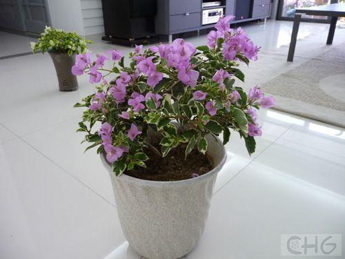银边叶浅紫 5.jpg