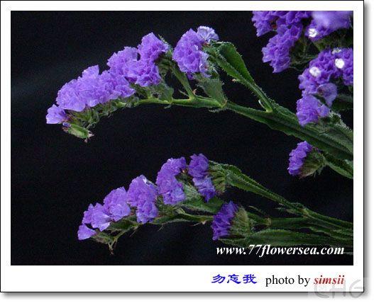 两种花都是叫勿忘我吗 野生花卉 藏花阁家庭园艺论坛图片